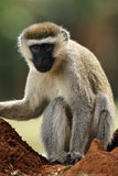 The vervet monkey Chlorocebus pygerythrus. Or simply vervet sitting on the ground Royalty Free Stock Image