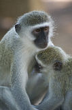 Vervet monkey( Chlorocebus pygerythrus) suckling young Stock Photos