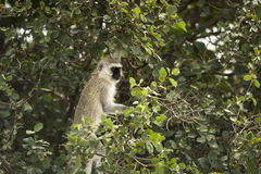 Vervet monkey, Chlorocebus pygerythrus, in a tree, Serengeti Stock Image