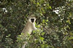 Vervet monkey, Chlorocebus pygerythrus, in a tree, Serengeti Stock Photos