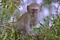 Vervet monkey (Chlorocebus pygerythrus) Stock Image