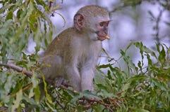 Vervet monkey (Chlorocebus pygerythrus) Royalty Free Stock Image