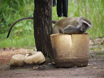 Vervet Monkey. (Chlorocebus pygerythrus) in Zambia Royalty Free Stock Images