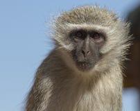 Vervet Monkey closeup Stock Photo