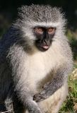 Vervet Monkey Concentrating Royalty Free Stock Image