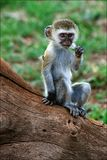 Vervet Monkey cub. Stock Image