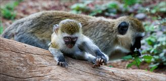 Vervet Monkey cub with mother. Stock Photos