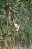 Vervet monkey  doing gymnastics. Royalty Free Stock Photo