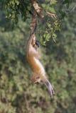 Vervet monkey doing gymnastics. Stock Image