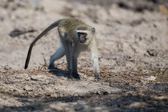 Vervet monkey drinking water from pond with dry mud Royalty Free Stock Photos