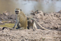 Vervet monkey drinking water from pond with dry mud Stock Photography