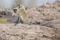 Vervet monkey drinking water from pond with dry mud Stock Images