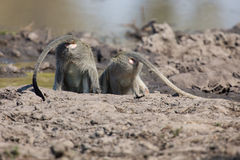 Vervet monkey drinking water from pond with dry mud Royalty Free Stock Photo