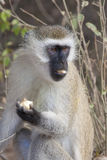 Vervet Monkey eating. Stock Photo