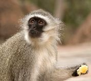 Vervet Monkey Eating An Orange Stock Photography