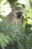 Vervet monkey eating leaves Royalty Free Stock Image