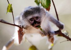 Vervet Monkey eating in South Africa royalty free stock image