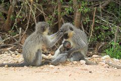 Vervet Monkey Family. Grooming and baby suckling on the mothers teet Royalty Free Stock Photography