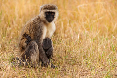 Vervet monkey feeding baby in dry grass of savanna Royalty Free Stock Photo