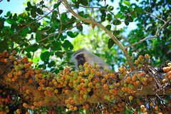 Vervet Monkey in Fig-Mulberry Tree. Vervet Monkey (Cercopithecus aethiops) eating the fruits of a Fig-Mulberry Tree (Ficus sycomorus stock photos