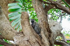 Vervet monkey with her baby stock image