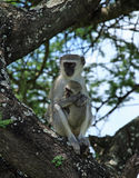 Vervet Monkey holding her young Stock Photos
