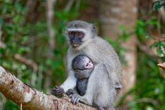 Vervet Monkey holding infant Stock Photography