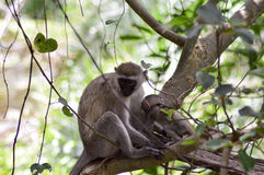 Vervet monkey and its young Stock Photos