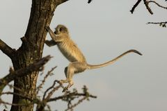 Vervet monkey jumping in a tree stock photography