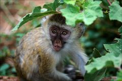 Vervet Monkey kid. Royalty Free Stock Photography