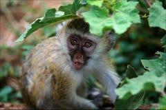 Vervet Monkey kid. Royalty Free Stock Photography