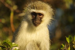 Southern african animals. Vervet monkey at Kruger National Park Royalty Free Stock Photos