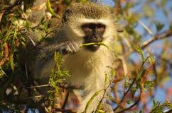 Southern african animals. Vervet monkey at Kruger National Park Stock Images