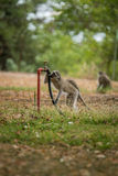 Vervet monkey in the Kruger National Park, South Africa. Royalty Free Stock Photo