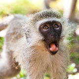 Vervet monkey looking surprised Stock Image