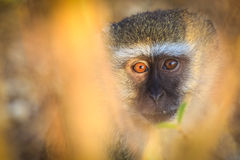 Vervet monkey looking surprised. Seen in close up royalty free stock image