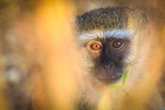 Vervet monkey looking surprised Royalty Free Stock Image