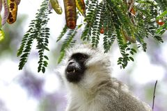 A Vervet monkey looking to the pods Stock Images