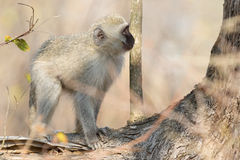 Vervet monkey looking at tree Royalty Free Stock Images