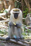 Vervet Monkey male sitting on the ground and eating a piece of f. Ruit Stock Images