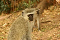 Vervet Monkey male Royalty Free Stock Photo