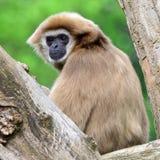 Vervet monkey. S are often keept as pet stock photos