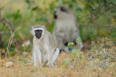 Vervet Monkey. S are social creatures but become troublesome in the Kruger at the Picnic Spots Royalty Free Stock Photos