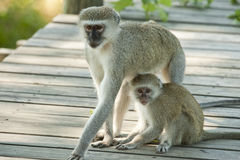 Vervet monkey mother and child Stock Photo