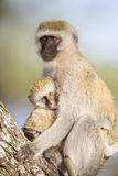 Vervet monkey mother holding her infant tight Royalty Free Stock Photography