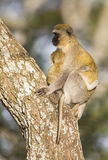 Vervet monkey mother holding her infant tight Royalty Free Stock Image