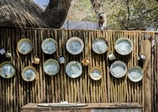 Vervet monkey overlooking dirty dishes washing area stock photography