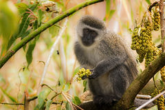 Vervet monkey perched in a tree. A Vervet monkey perched in a tree with wild fruit staring at the camera Stock Images
