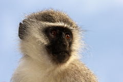 Vervet monkey portrait Royalty Free Stock Images