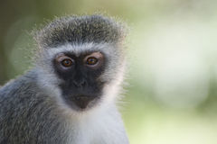 Vervet monkey portrait. A vervet monkey(Chlorocebus pygerythrus) in the Kruger National Park, Mpumalanga, South Africa Stock Photos